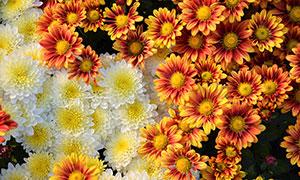 橙色和黄色菊花背景搞摄影图片