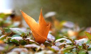 秋季飄落的楓葉高清攝影圖片