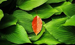 秋季飄落的落葉特寫攝影圖片