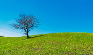 蓝天下草原上的大树摄影图片