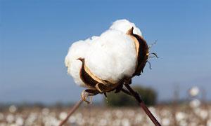 白色的棉花球特写高清摄影图片