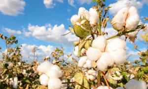 棉花地里的成熟棉花特写摄影图片