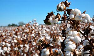 棉花地里成熟的棉花从摄影图片