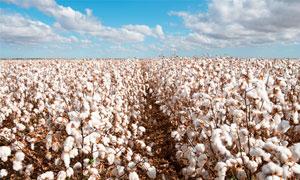 棉花种植基地高清摄影图片