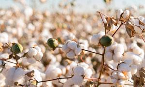 棉花地里成熟的棉花摄影图片
