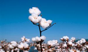 棉花地和棉花球特写高清摄影图片