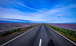 公路边上的薰衣草花海高清摄影图片