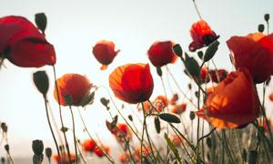 逆光下的罂粟花特写高清摄影图片