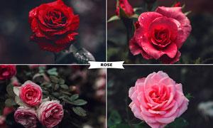 中文版玫瑰花照片冷色艺术效果PS动作