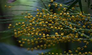 结出黄色小果子的枝条特写摄影原片