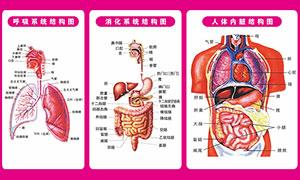人体内脏结构图矢量素材