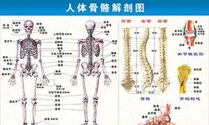人体骨骼解剖图设计矢量素材