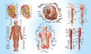 人体经络结构图设计PSD素材