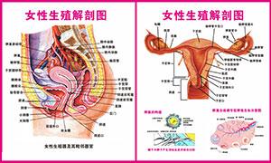 女性人体生殖系统解剖图矢量素材
