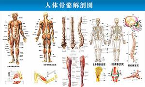人体骨骼解剖图矢量素材