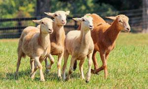 草地上的羊群高清摄影图片