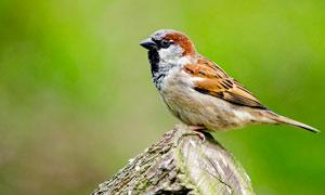 树桩上栖息的麻雀高清摄影图片