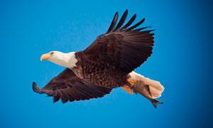 蓝天中飞翔的老鹰高清摄影图片