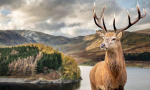 湖边驯鹿特写高清摄影图片