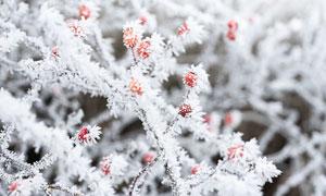 冬季果樹上的結霜特寫高清攝影圖片