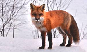 冬季雪地中的狐狸摄影图片