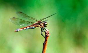 植物上栖息的蜻蜓摄影图片