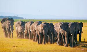 草原上的大象群高清摄影图片