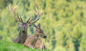 趴在草地上的麋鹿高清攝影圖片