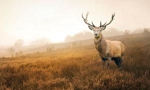逆光下草地中的馴鹿攝影圖片