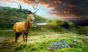 山頂上的麋鹿特寫高清攝影圖片