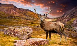 山頂巖石邊上的麋鹿攝影圖片