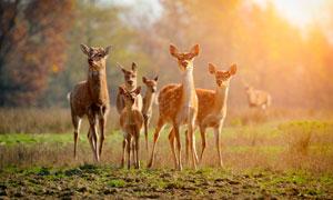 逆光下的鹿群高清攝影圖片
