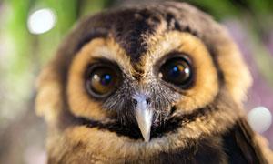 大眼睛的貓頭鷹特寫攝影圖片