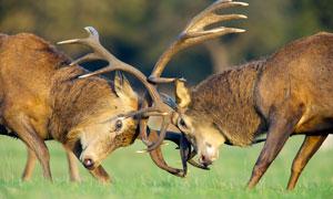 兩只打架的麋鹿高清攝影圖片