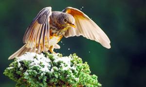 松枝上的斑鶇特寫攝影圖片