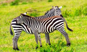 草地上的兩只斑馬高清攝影圖片