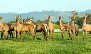草地上的鹿群高清攝影圖片