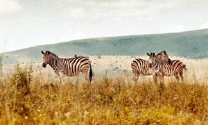 牧場中的斑馬高清攝影圖片