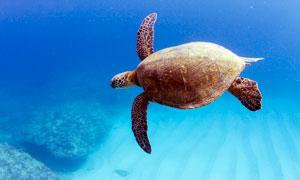 海底中游動的大海龜攝影圖片