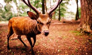 樹林中的小馴鹿攝影圖片