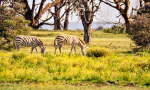 在草地上吃草的麋鹿攝影圖片