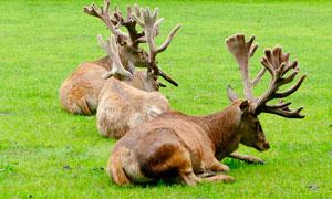 動物園中的麋鹿高清攝影圖片
