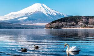 雪山腳下湖泊中的天鵝攝影圖片