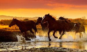 傍晚在水邊奔馳的駿馬攝影圖片