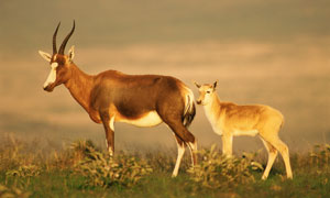 大羚羊和小羚羊側身攝影圖片