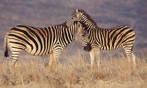 草地上的兩只斑馬攝影圖片