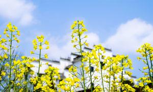 春季美丽的油菜花特写摄影图片