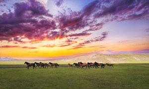 黄昏下草原上奔腾的骏马摄影图片