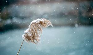 冬季大雪中的芦苇特写摄影图片