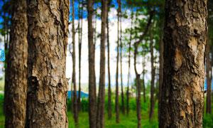 森林中的松树树干特写摄影图片